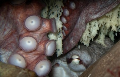 Giant Pacific Octopus on eggs by Steve Zedekar