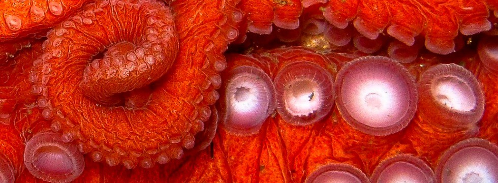 Giant Pacific Octopus by Steve Zedekar