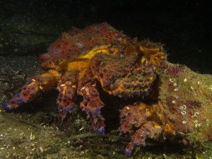 Puget Sound king crab by Lauren Wilson