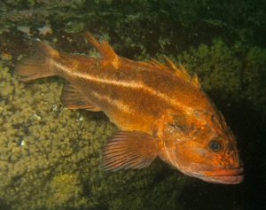 Yelloweye rockfish by Lauren Wilson