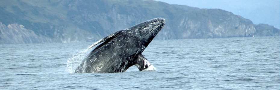 Gray Whale photo by Merrill Gosho