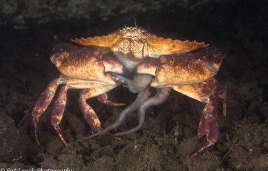 Dungeness Crab (Metacarcinus magister)